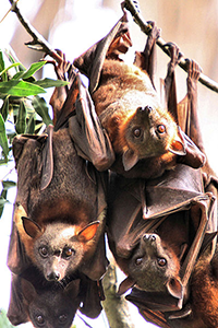 Flying foxes resized